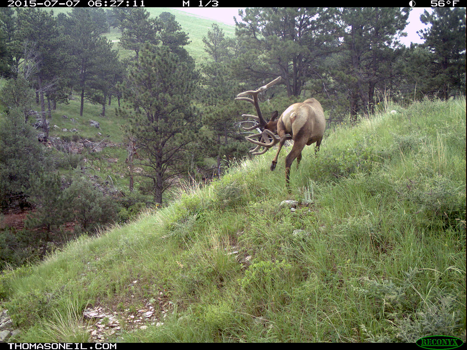 Elk scratching sequence on trailcam, 2 of 7, Wind Cave National Park, July 2015,   Click for next photo.
