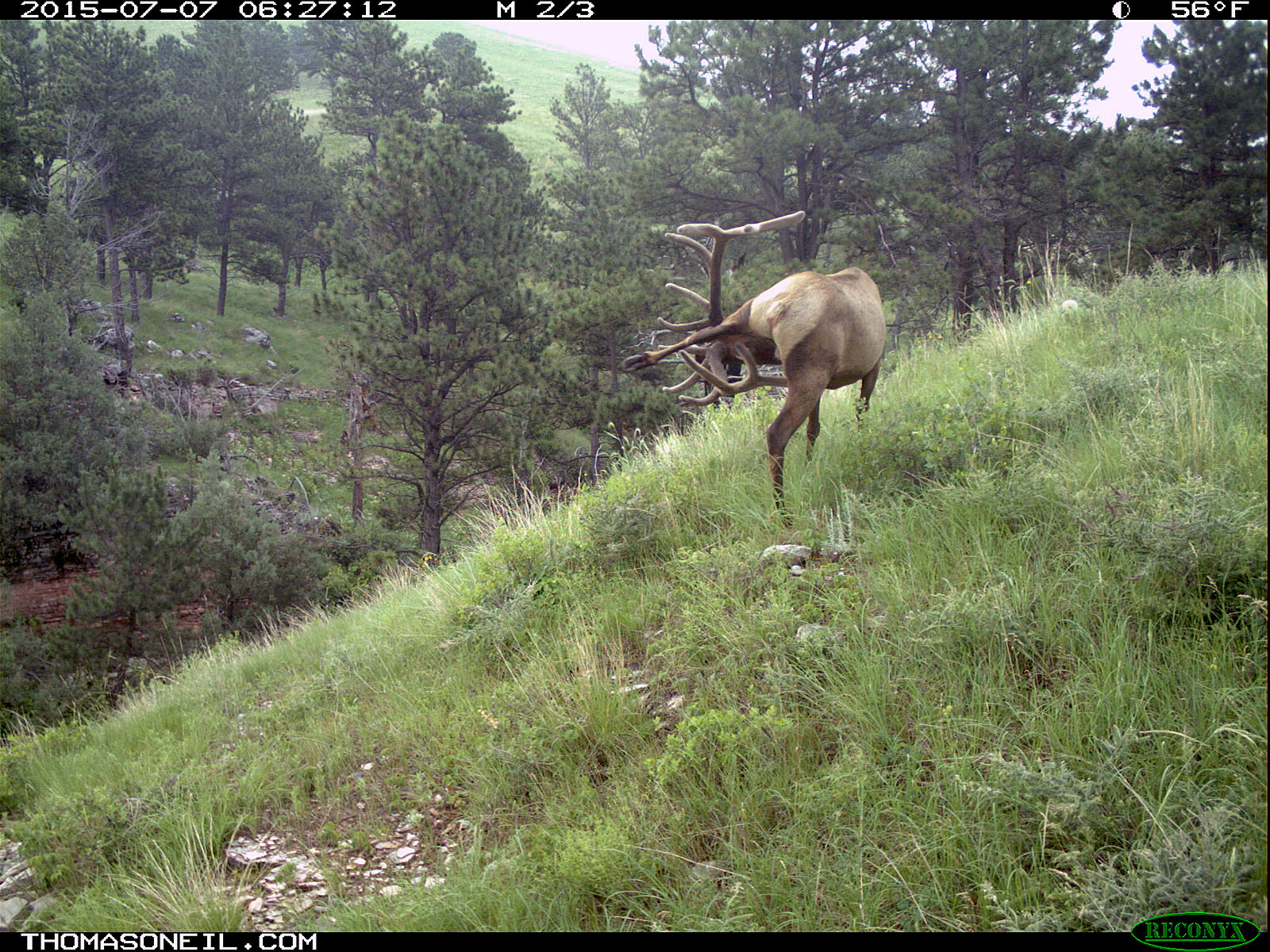Elk scratching sequence on trailcam, 3 of 7, Wind Cave National Park, July 2015,