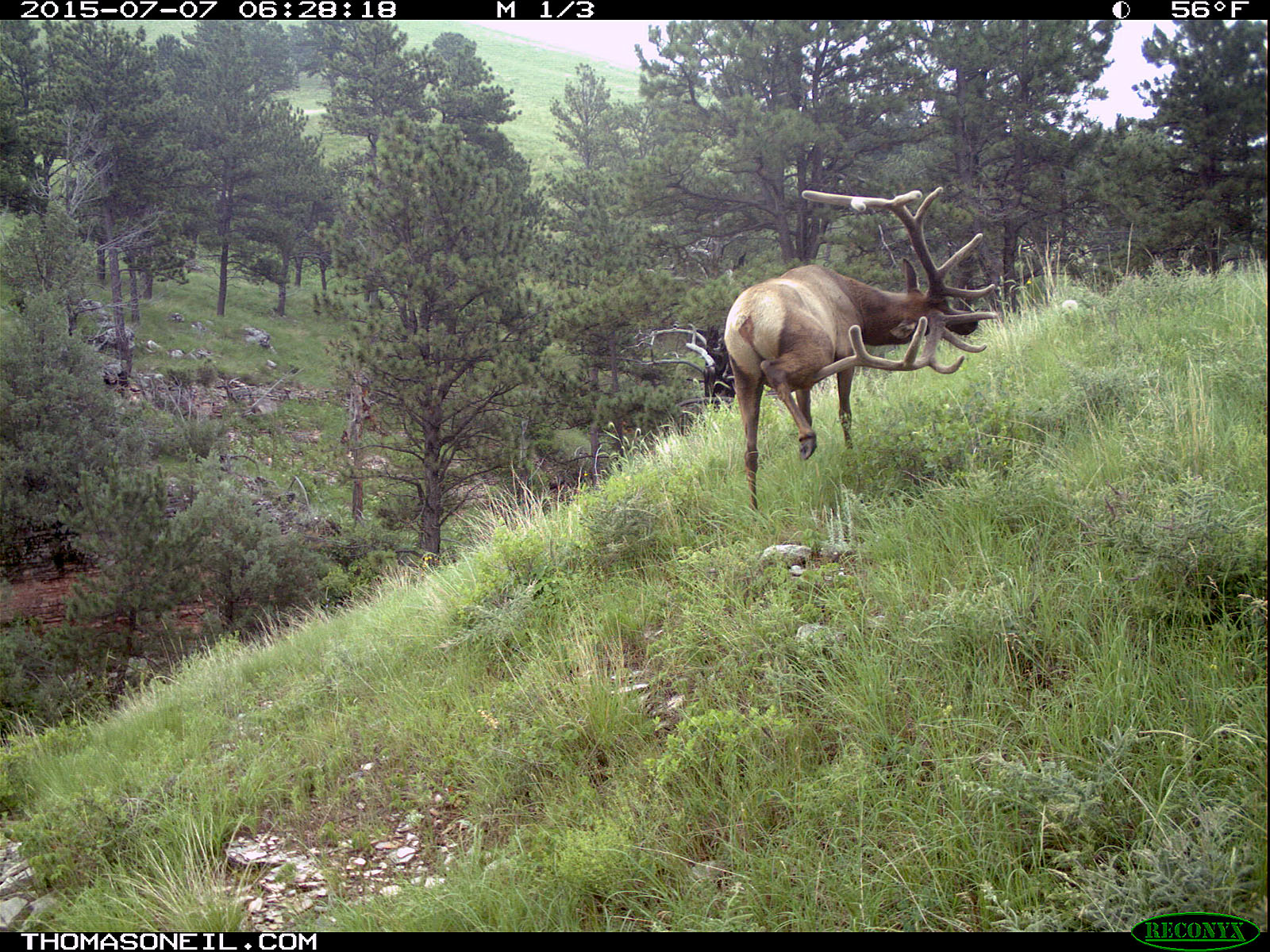 Elk scratching sequence on trailcam, 5 of 7, Wind Cave National Park, July 2015,