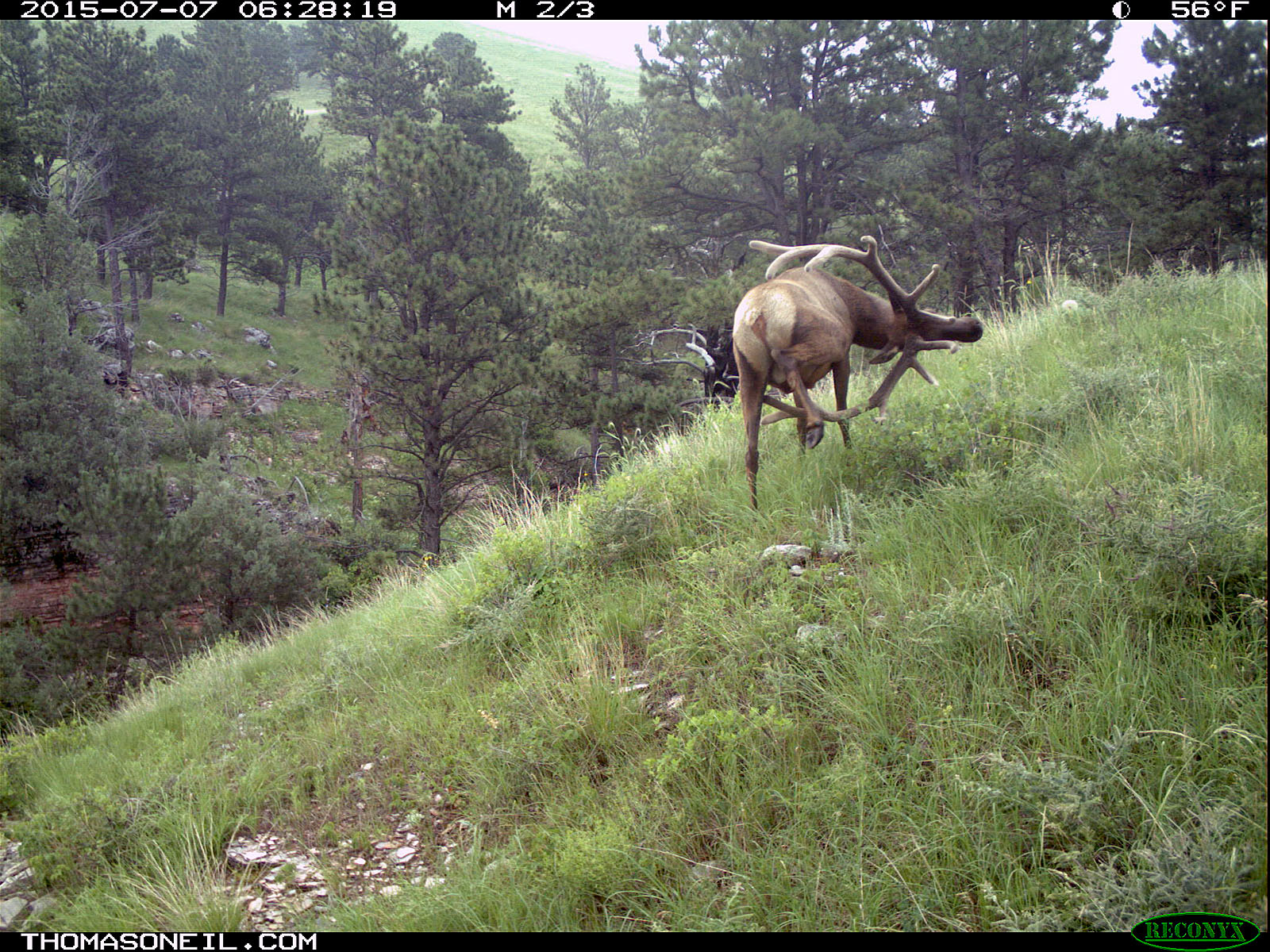 Elk scratching sequence on trailcam, 6 of 7, Wind Cave National Park, July 2015,