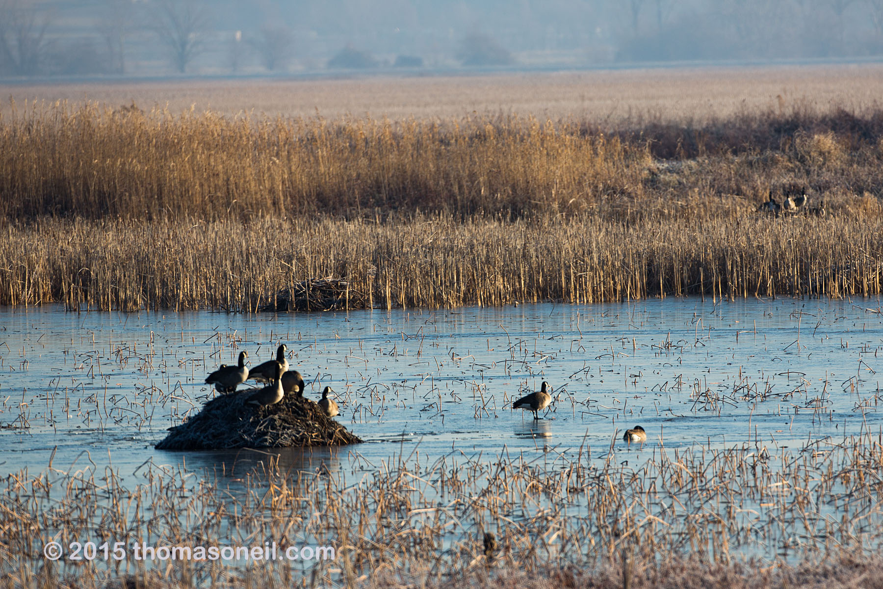 Geese, Squaw Creek NWR, Missouri, December 2015.  Click for next photo.
