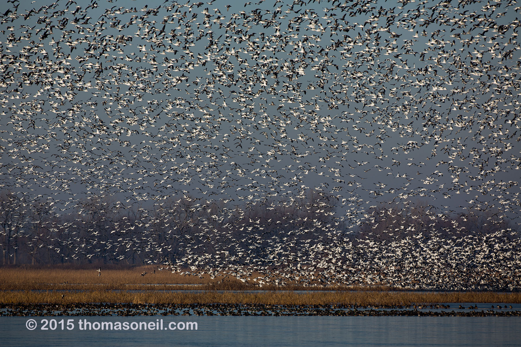 Snow geese, Squaw Creek NWR, Missouri, December 2015.  Click for next photo.