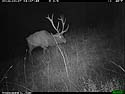Elk on trailcam, Custer State Park, October 2014.
