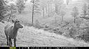 Elk on trailcam, Wind Cave National Park, May 2015,