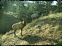 Two elk on trailcam, Wind Cave National Park, April 2015,