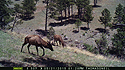 Twp elk on trailcam, Wind Cave National Park, May 2015,