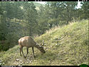 Elk on trailcam, Wind Cave National Park, May 2015,