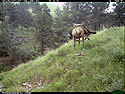 Elk scratching sequence on trailcam, 7 of 7, Wind Cave National Park, July 2015.  To see the entire sequence, click here.