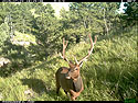 Elk on trailcam, Wind Cave National Park, July 2015,