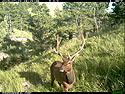 Elk on trailcam, Wind Cave National Park, July 2015,