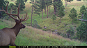 Elk on trailcam, Wind Cave National Park, August 2015,