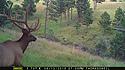 Elk on trailcam, Wind Cave National Park, August 2015,