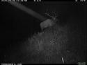 Elk on trailcam, Wind Cave National Park, September 2015,