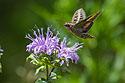 Sphinx Moth, Newton Hills State Park, SD, July 2015