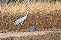 Sandhill crane, Bosque del Apache NWR, New Mexico, November 2015