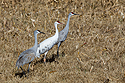 Leucistic (white) sandhill crane, Bosque del Apache NWR, New Mexico, November 2015