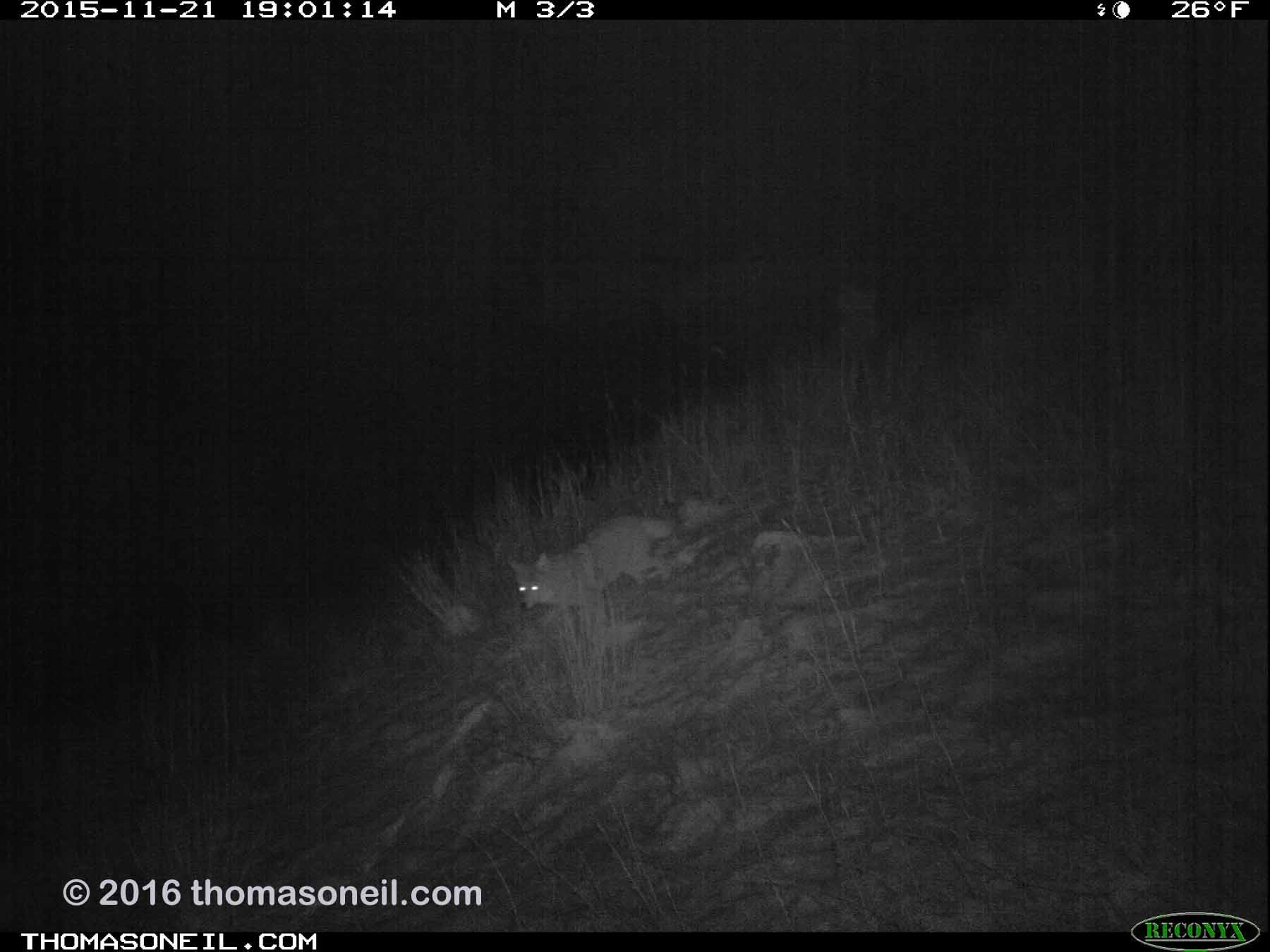 Trailcam image from Wind Cave National Park in November 2015, coyote at night.