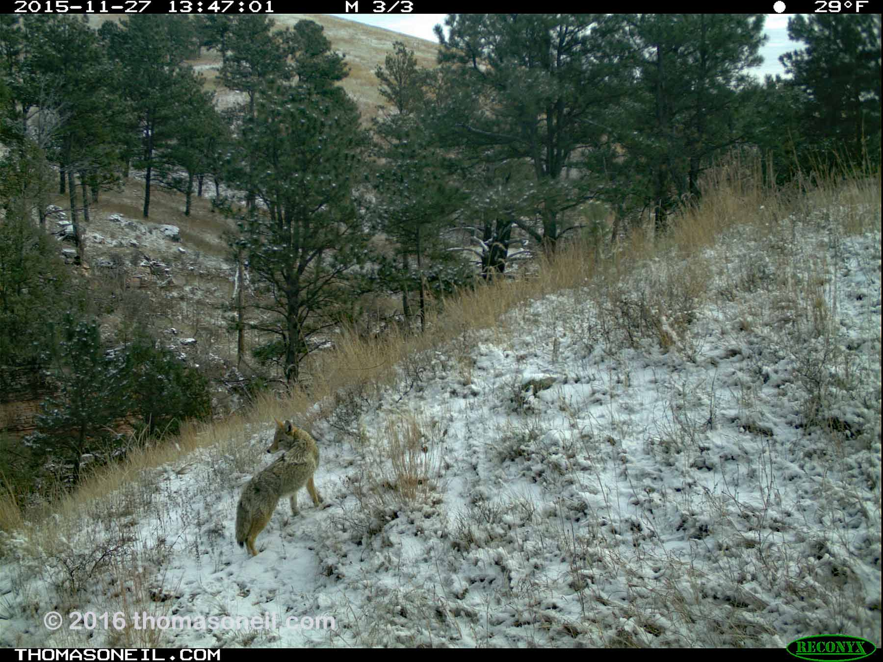 Trailcam image from Wind Cave National Park in November 2015, coyote in the snow.  Click for next photo.