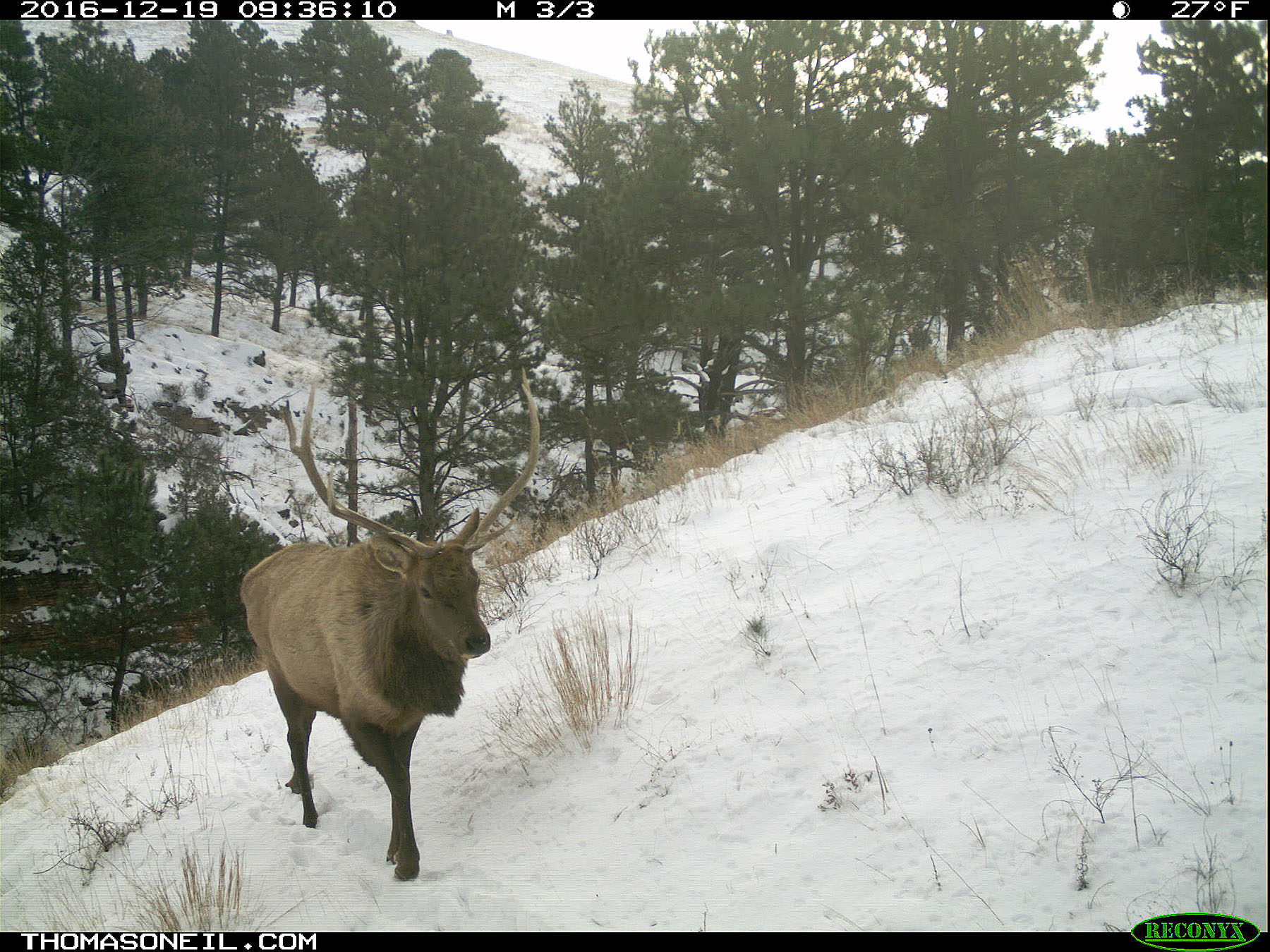 An elk on trailcam in Wind Cave National Park, SD, December 2016.  Click for next photo.