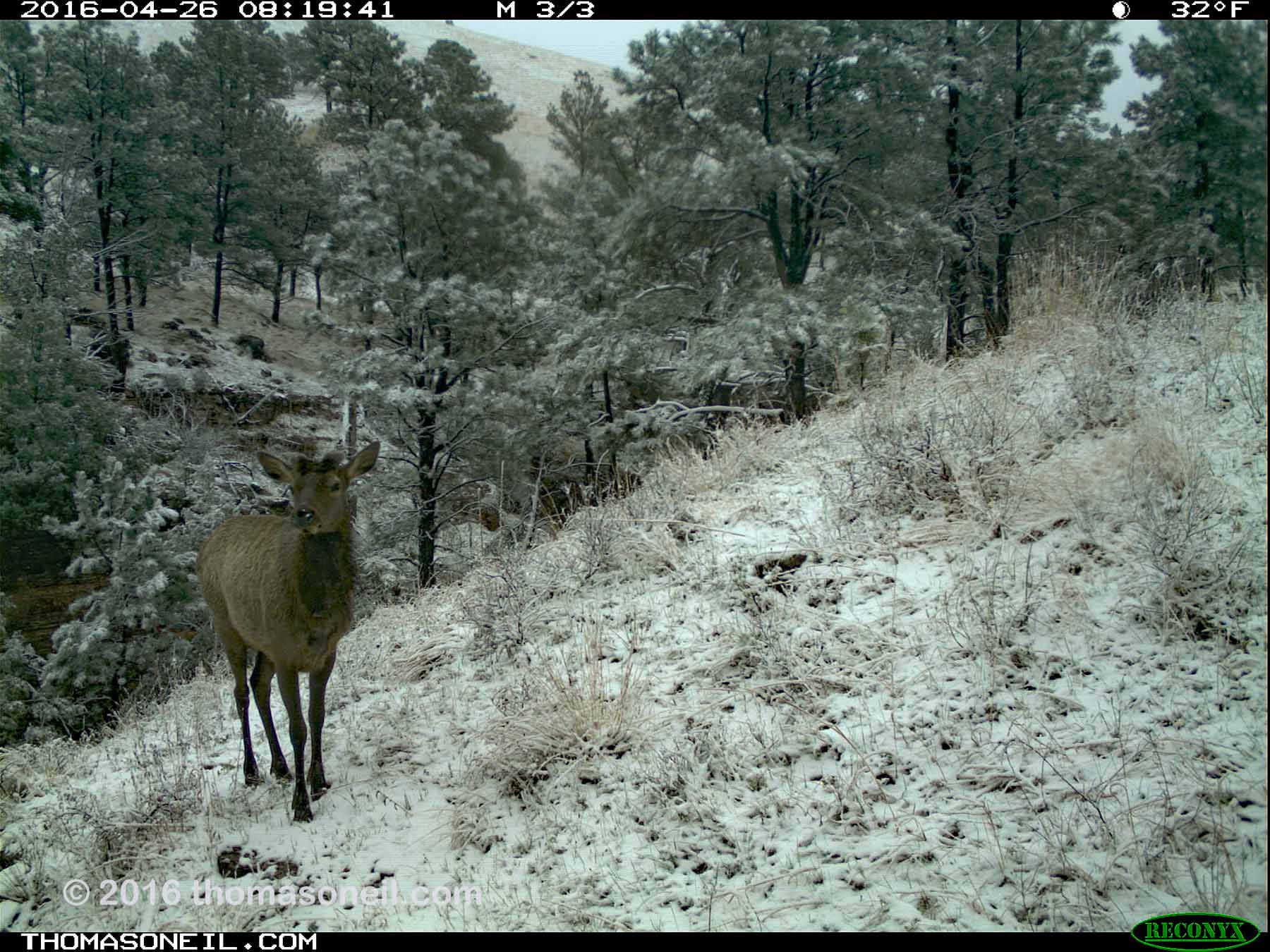 Trailcam image from Wind Cave National Park in April 2016, elk in snow.