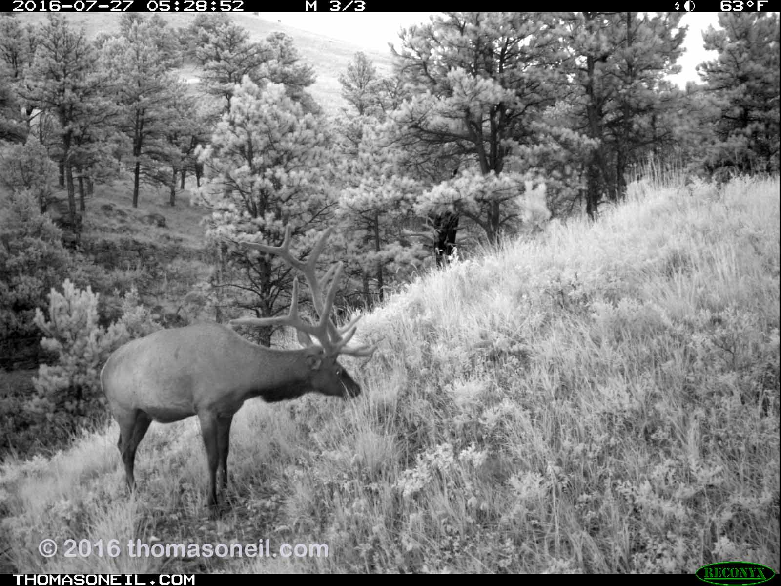 Elk on trailcam just before dawn, Wind Cave National Park, July 27, 2016.  Click for next photo.