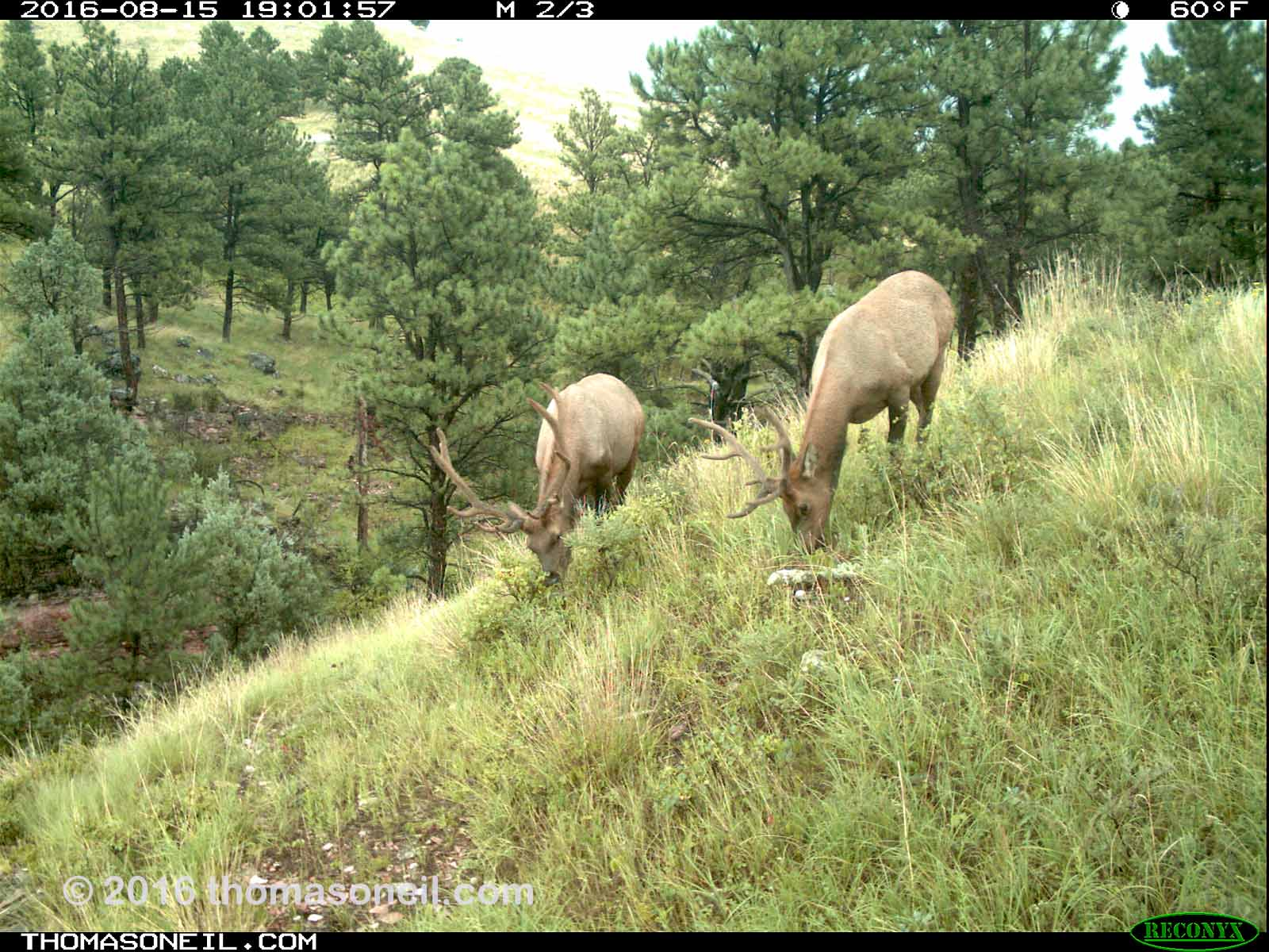 Elk on trailcam, Wind Cave National Park, Aug. 15, 2016.  Click for next photo.