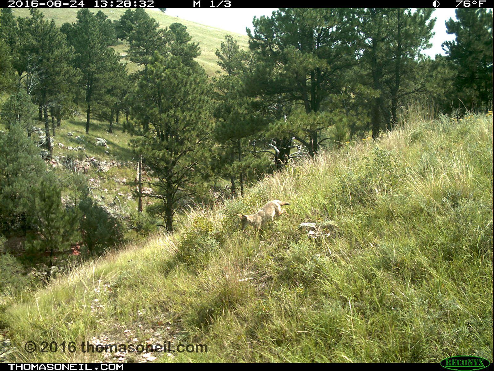 Coyote on trailcam, Wind Cave National Park, Aug. 24, 2016.