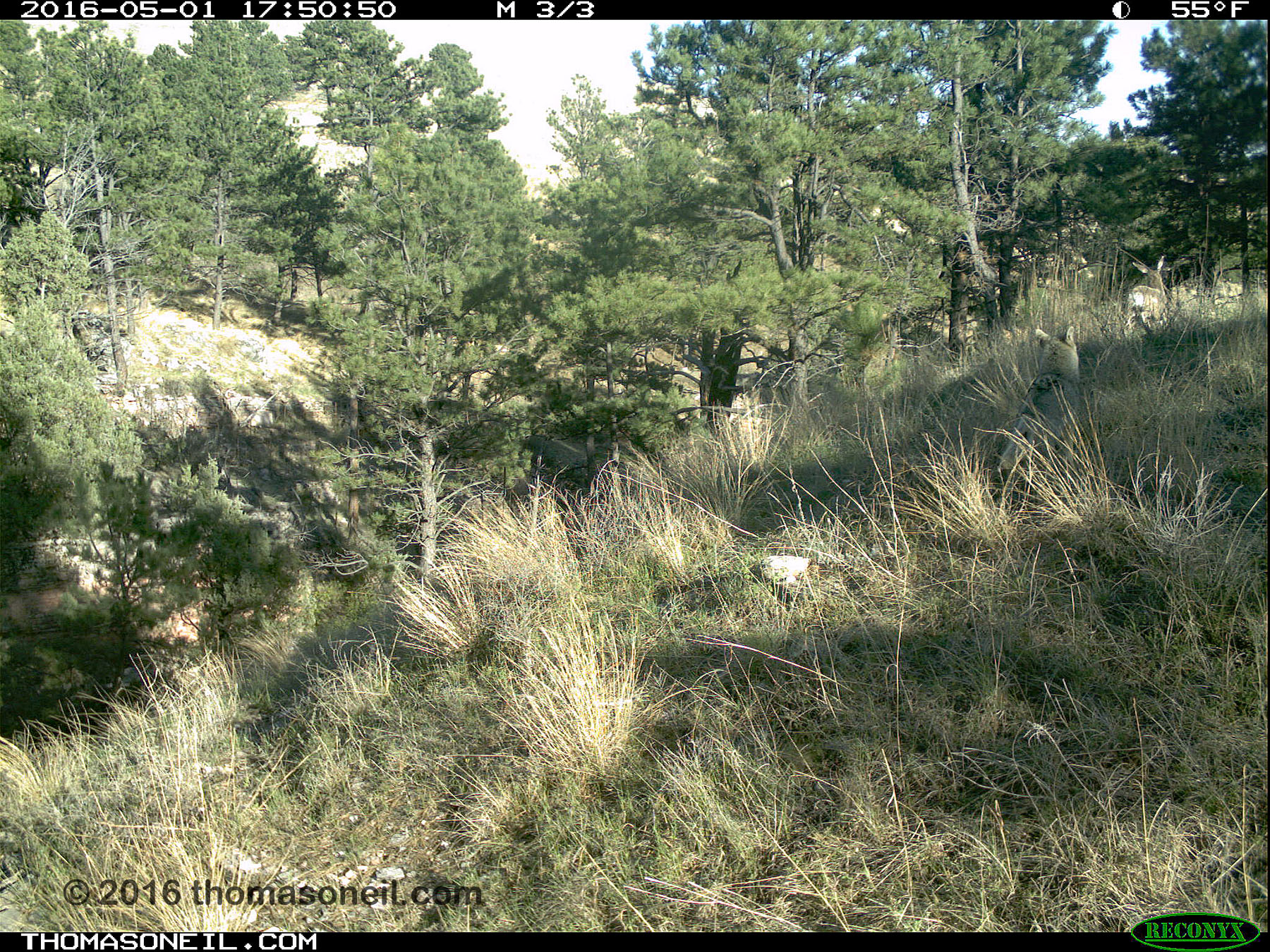 Trailcam image from Wind Cave National Park in May 2016, you need to look closely at upper right to see a coyote starting to chase a deer.