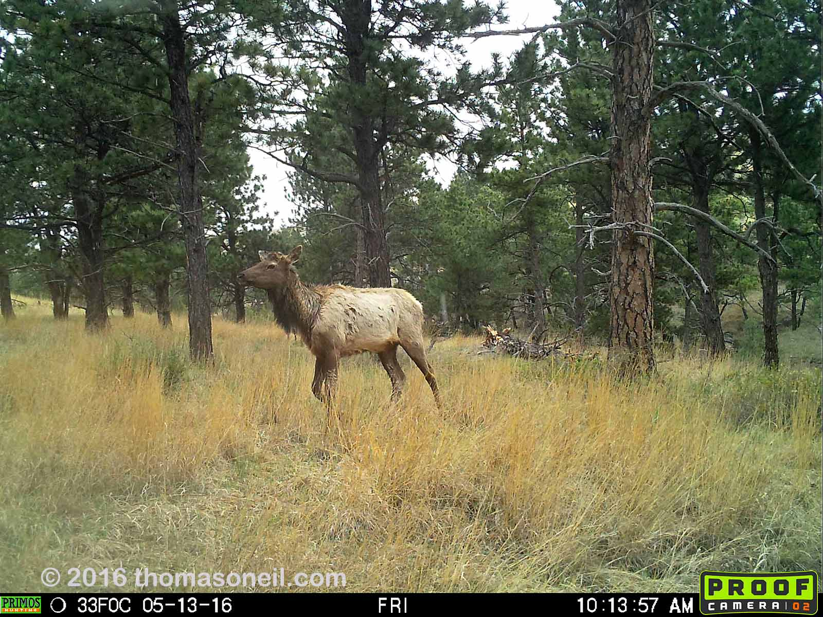 Elk on Primos trailcam, Wind Cave National Park, May 13, 2016.  Compare to previous image on Moultrie trailcam.
