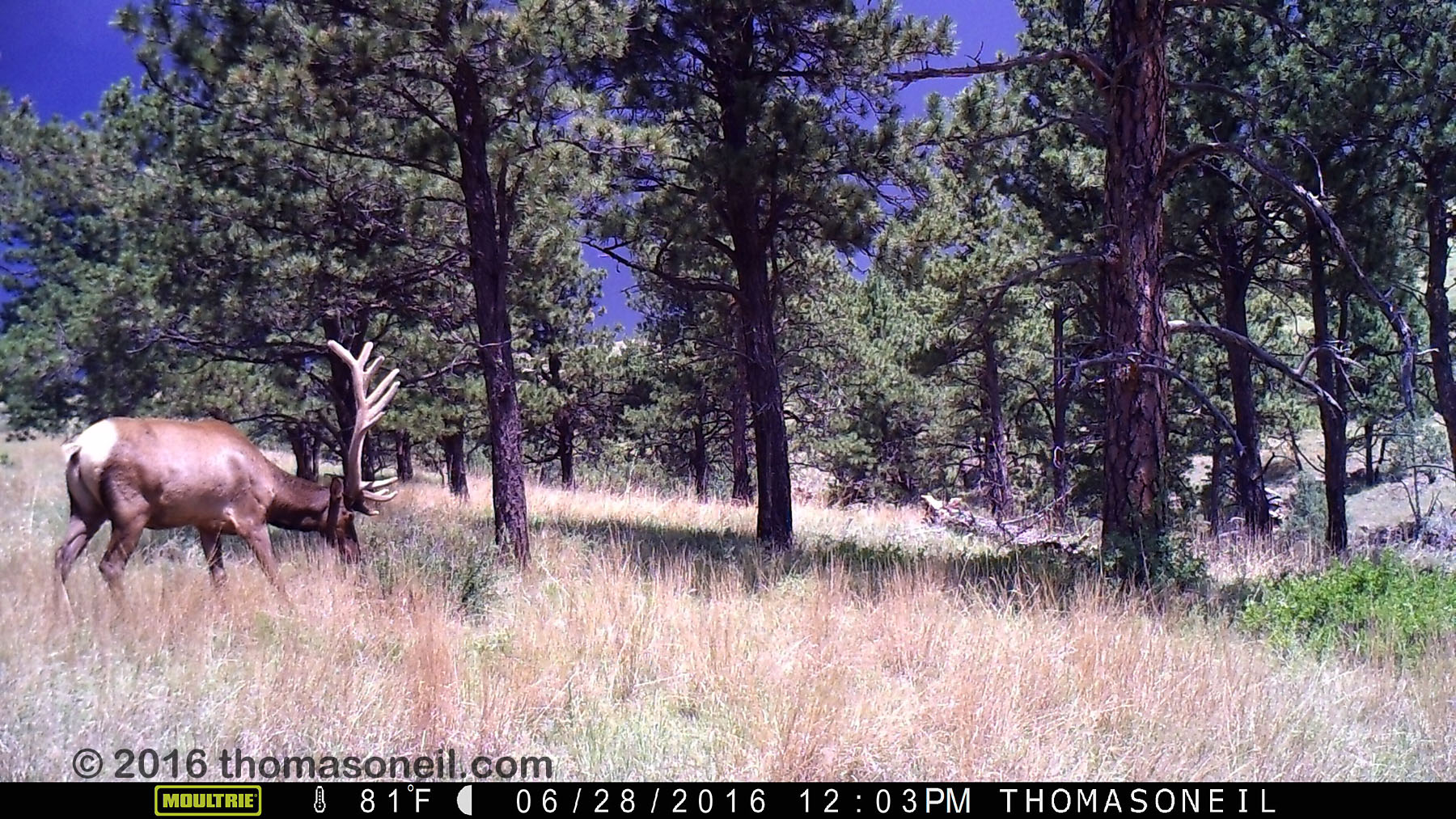 Elk on trailcam, Wind Cave National Park, June 28, 2016.