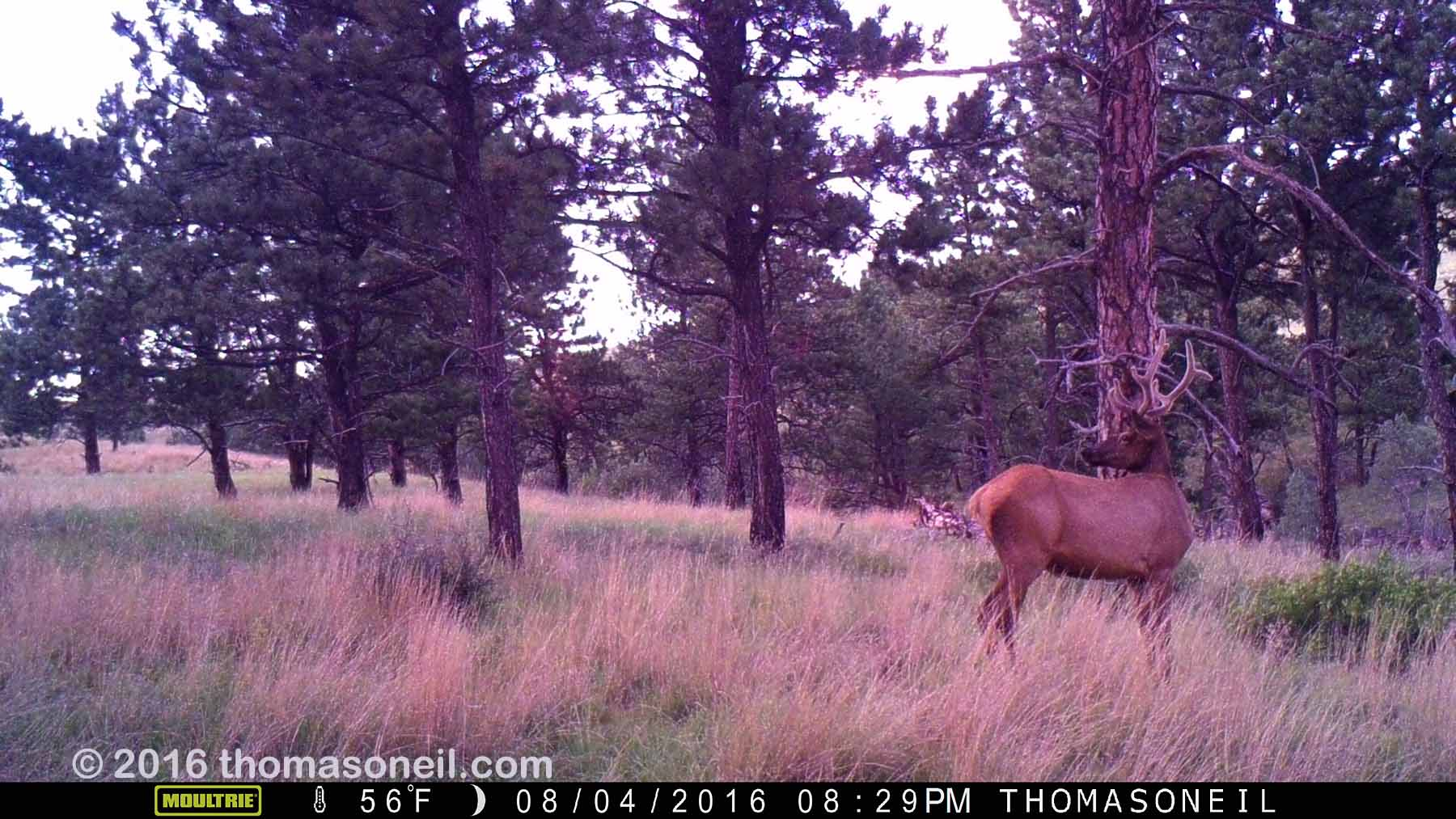 Elk on trailcam, Wind Cave National Park, Aug. 4, 2016.