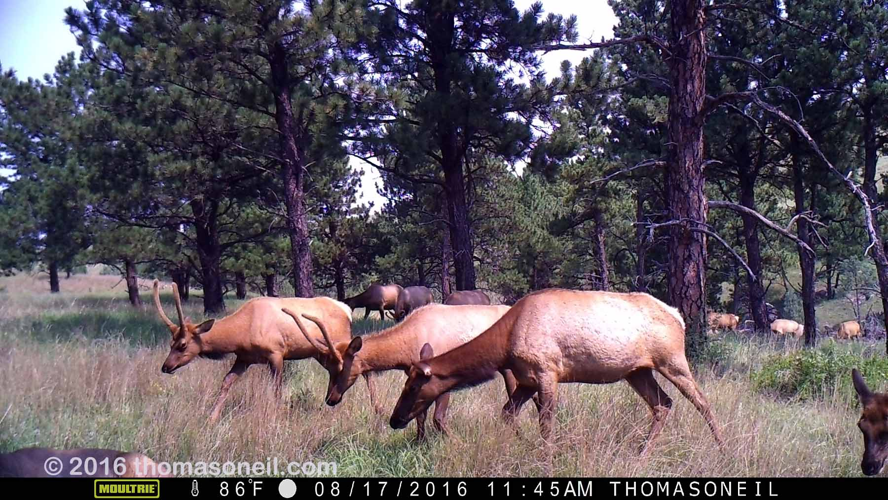 Elk on trailcam, Wind Cave National Park, Aug. 7, 2016.  Based on other images in this sequence, I estimate more than 20 elk passed through this area at this time.