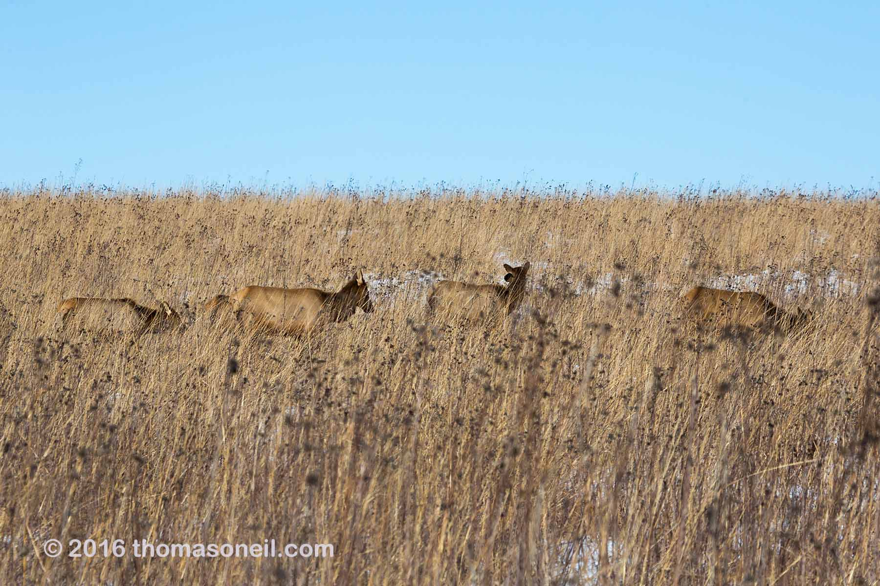 Elk hiding in the tallgrass prairie, Neal Smith NWR, Iowa, January 2016.  Click for next photo.