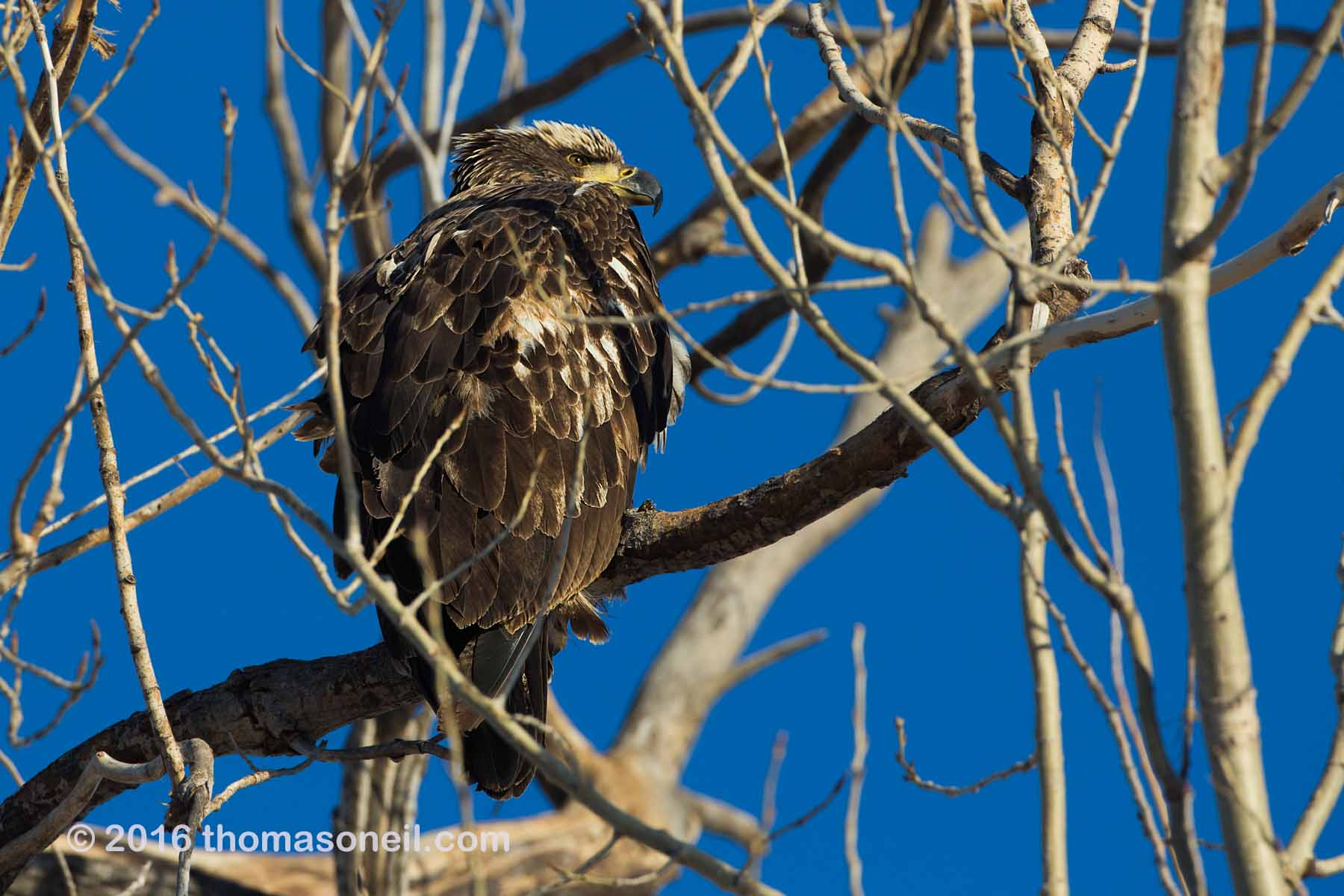 Juvenile Bald eagle, Squaw Creek National Wildlife Refuge, Missouri, January 2016.  Click for next photo.