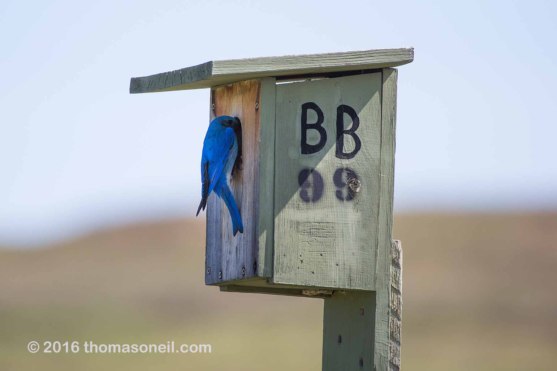 Mountain Bluebird bringing home food for hatchlings, Custer State Park, May 2016.  Click for next photo.