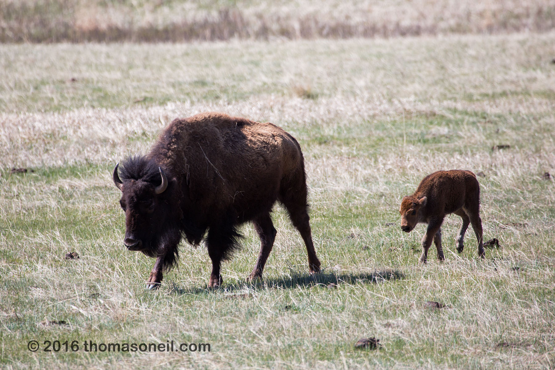 Bison with baby, Custer State Park, May 2016.  Click for next photo.