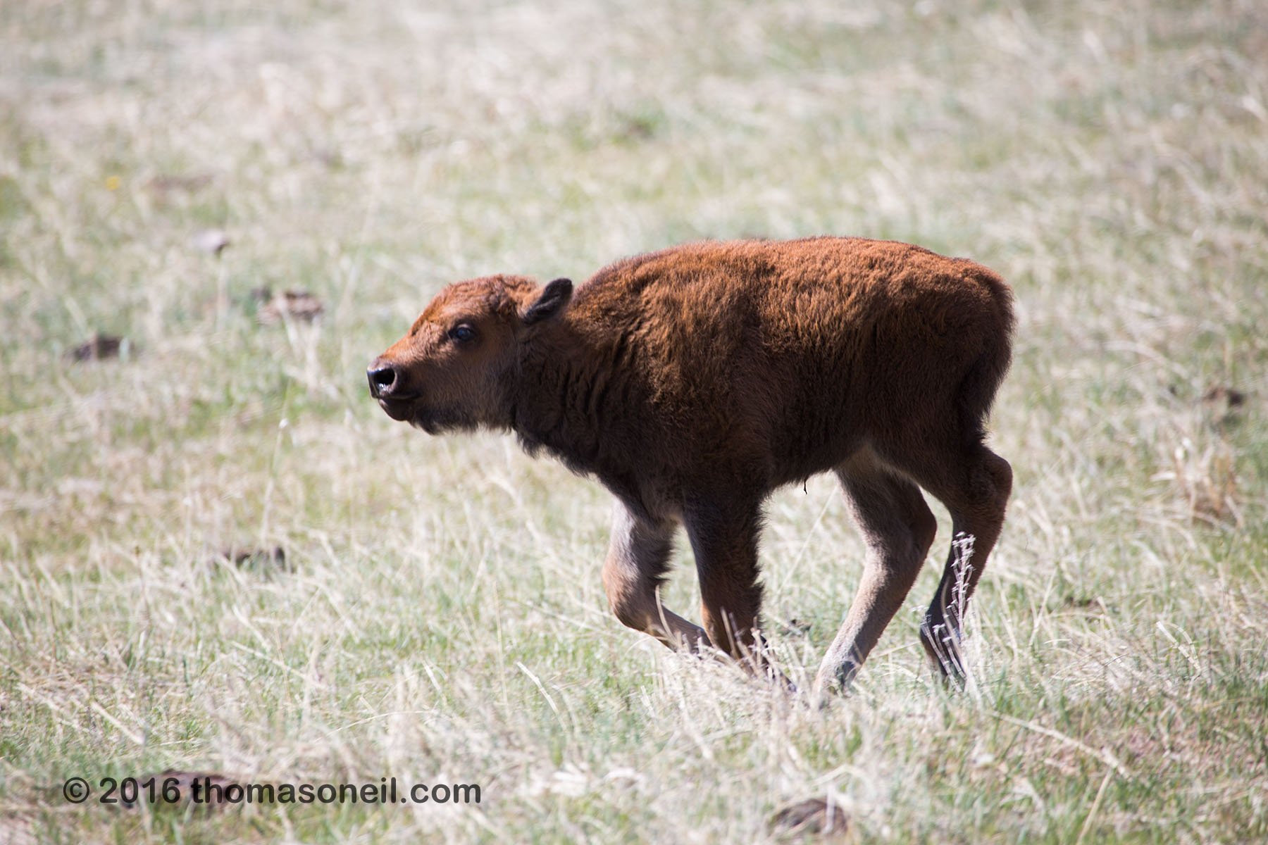Baby bison, Custer State Park, May 2016.  Click for next photo.