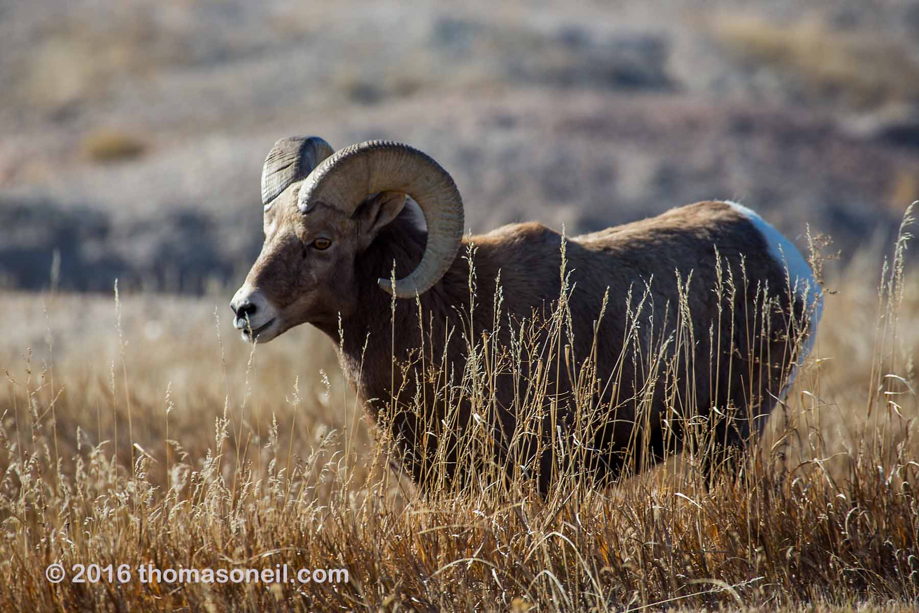 Bighorn, Badlands National Park, 2016.  Click for next photo.