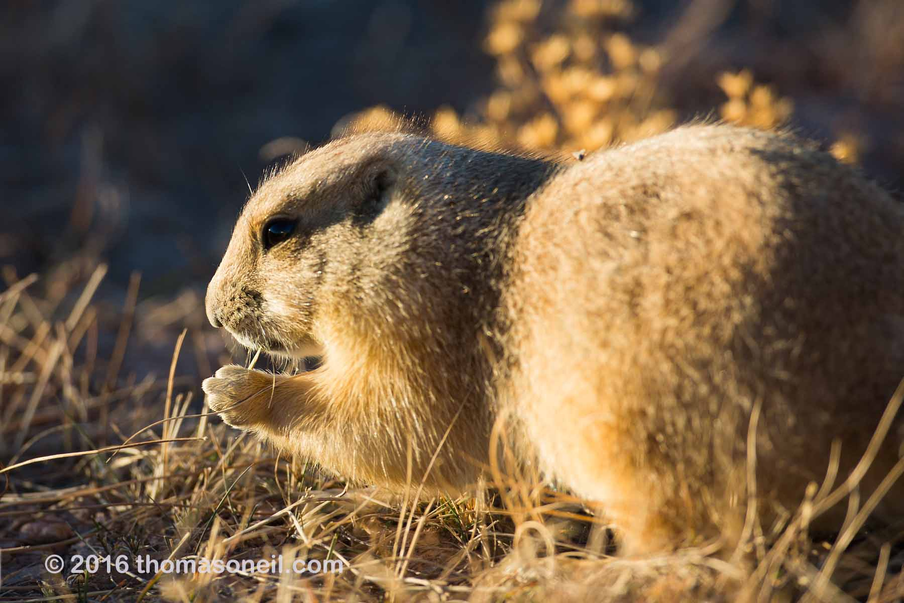 Prairie dog fattening up for winter, Wind Cave National Park, 2016.  Click for next photo.