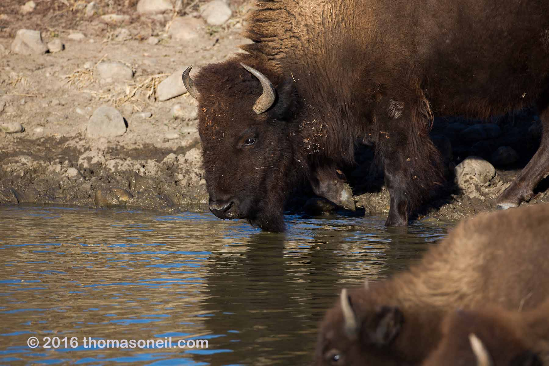 Bison getting a drink, Custer State Park, 2016.  Click for next photo.