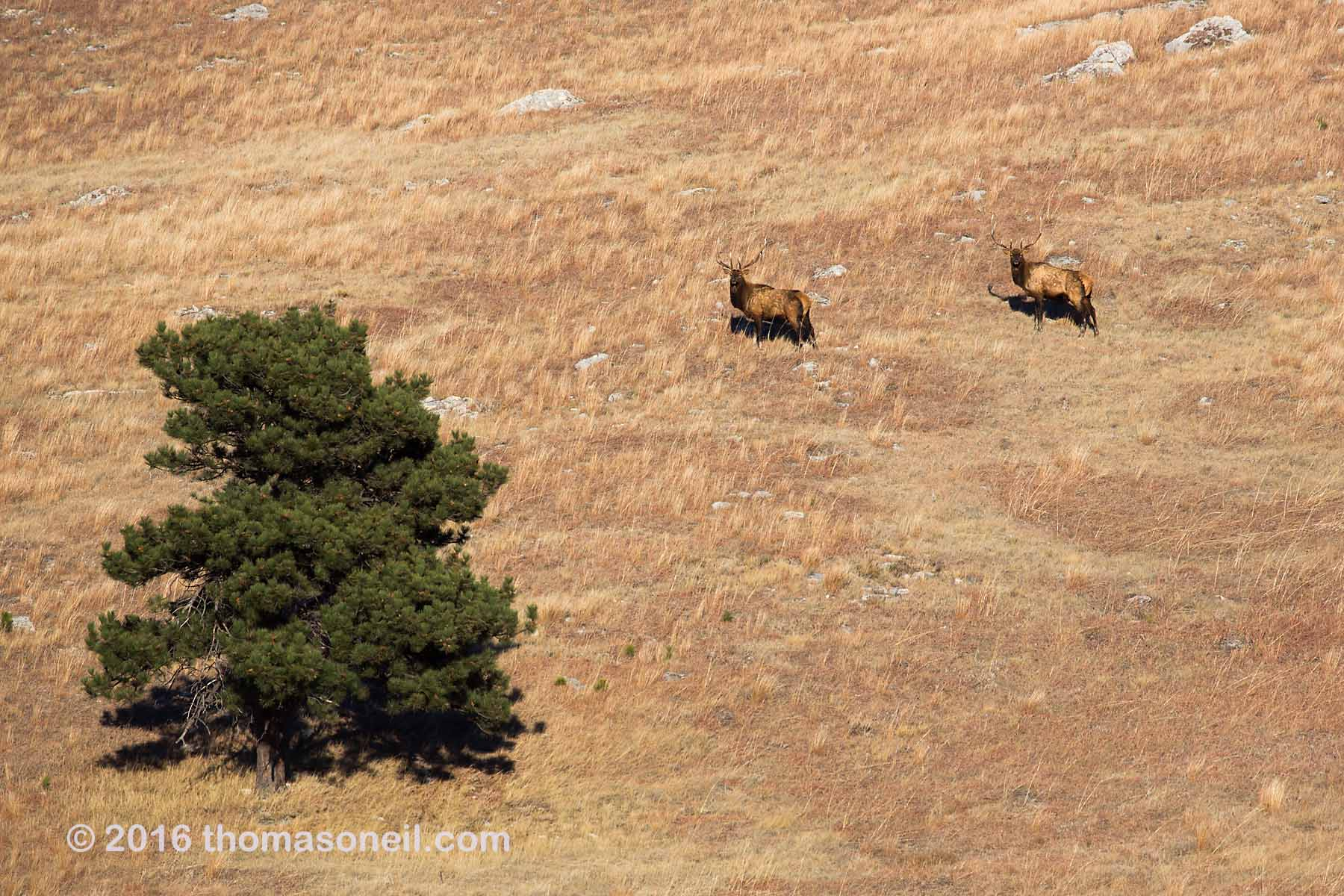 Distant view of elk, Wind Cave National Park, 2016.  Click for next photo.