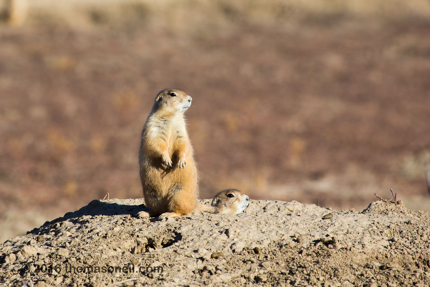 Prairie dog looking for coyotes, Wind Cave National Park, 2016.  Click for next photo.