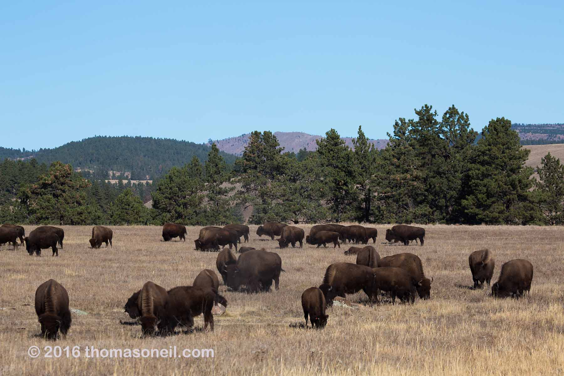 Bison herd, Custer State Park, 2016.  Click for next photo.