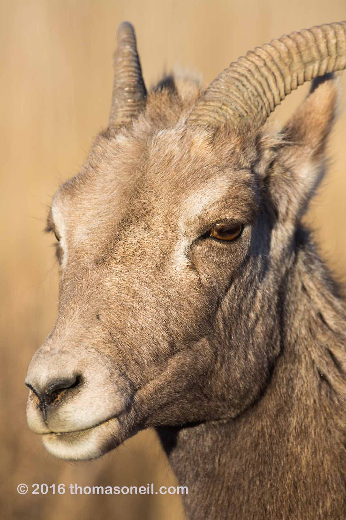 Bighorn ewe portrait, Badlands National Park, 2016.  Click for next photo.