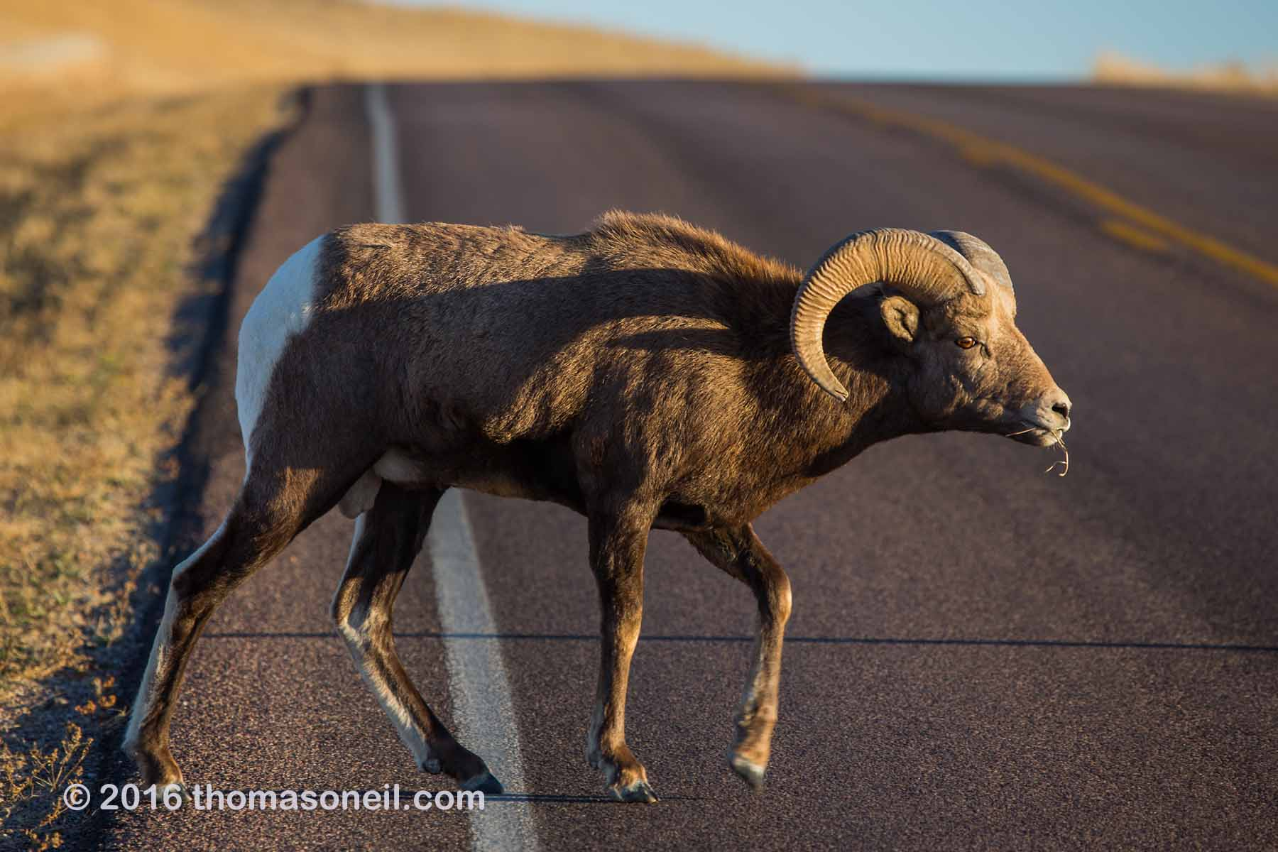 Bighorn (part of different group than preceding images), Badlands National Park, 2016.  Click for next photo.