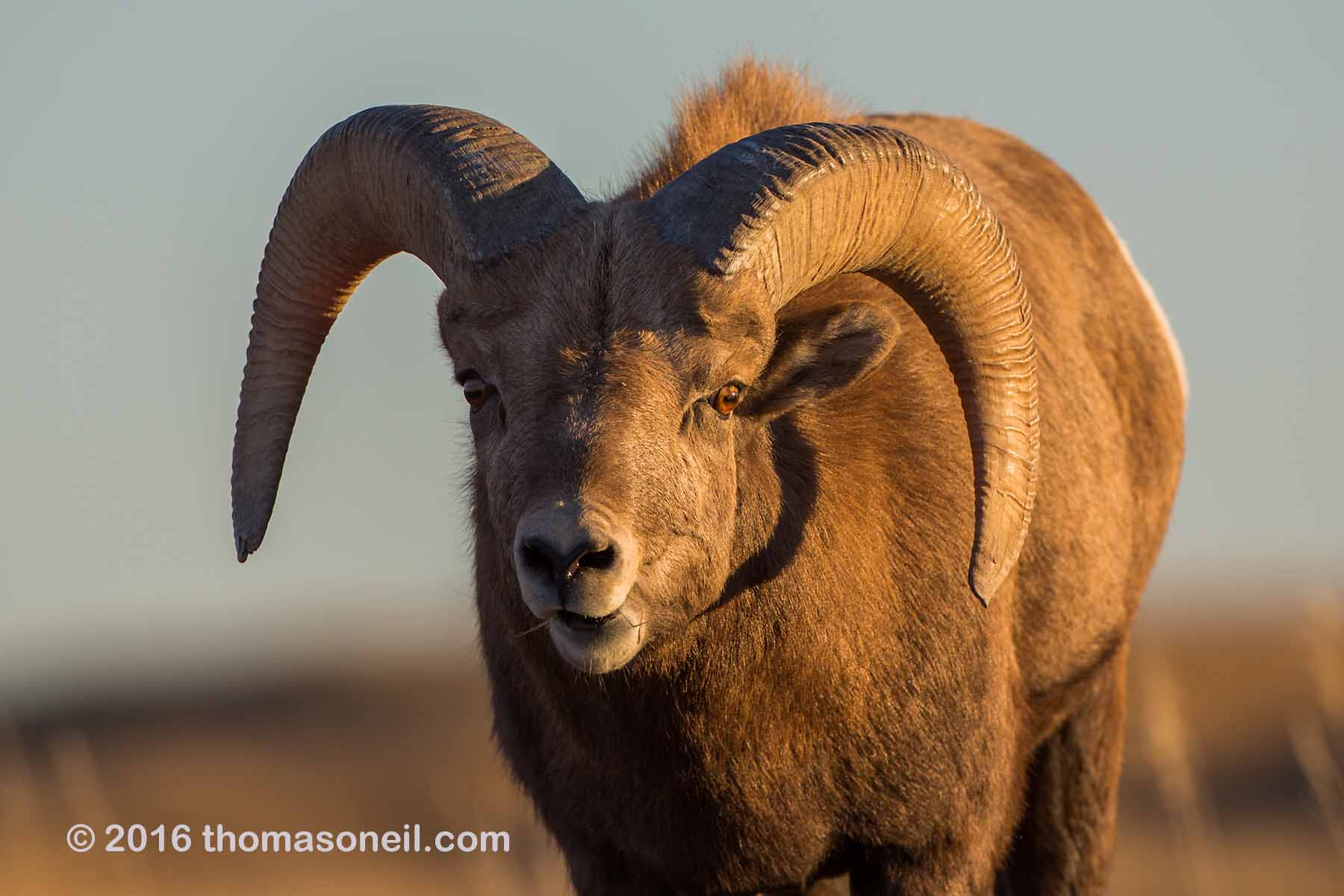 Bighorn with a wild look in his eye (see next image), Badlands National Park, 2016.  Click for next photo.