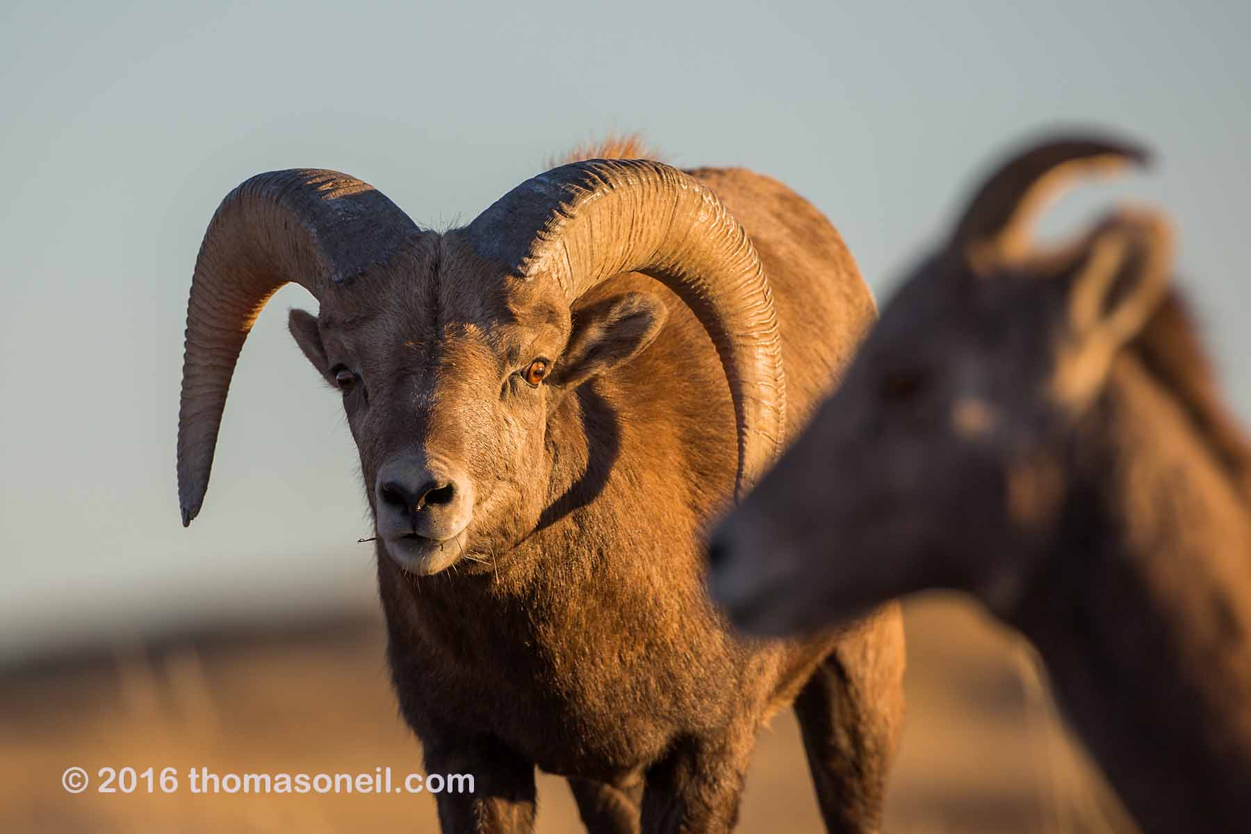 Bighorn with a wild look in his eye (it´s that time of year), Badlands National Park, 2016.  Click for next photo.