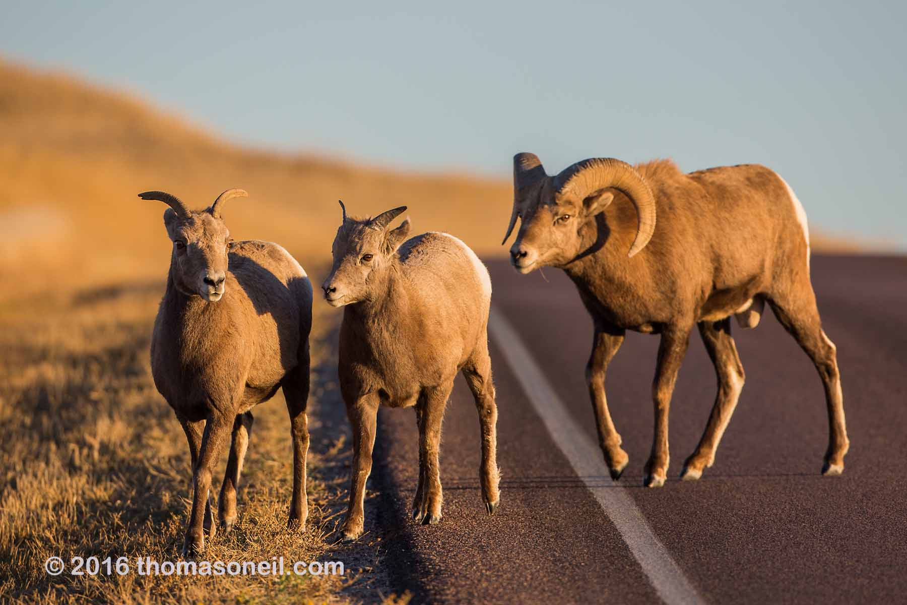 Bighorn and his harem, Badlands National Park, 2016.  Click for next photo.