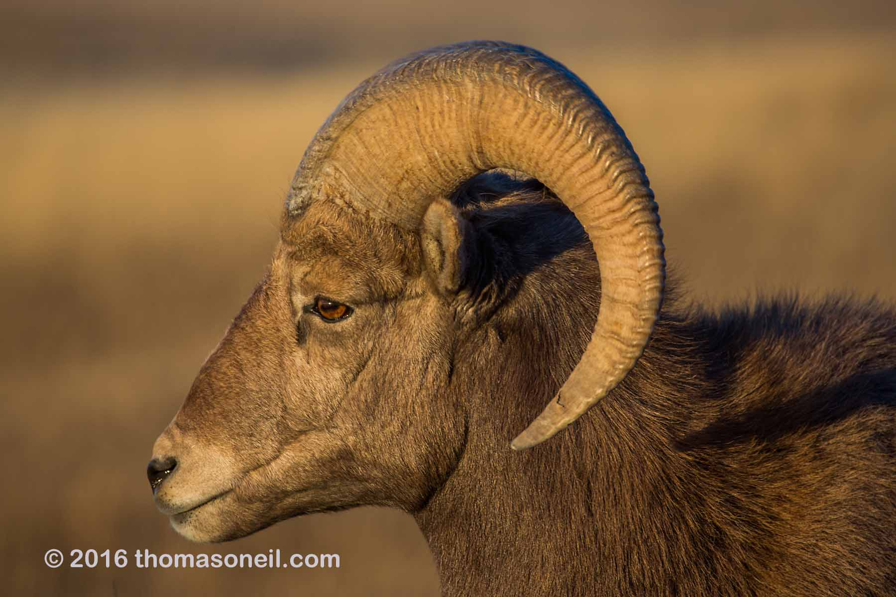 Rocky Mountain Bighorn Sheep, Badlands National Park, 2016.  Click for next photo.