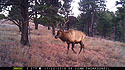 Trailcam image from Wind Cave National Park in November 2015, elk in show.